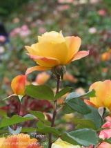 """Strike It Rich"" captured at Portland, Oregon's International Rose Test Garden."
