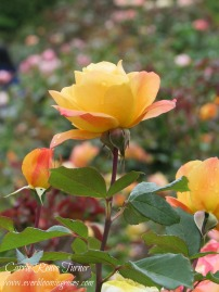 """Strike It Rich"" captured at Portland, Oregon's International Rose Test Garden."