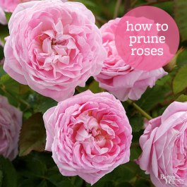102393195-prune-roses.jpg.rendition.largest