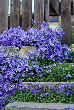 Campanula.BavarianBlue.jpg