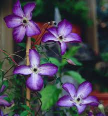 Clematis.VenosaViolacea