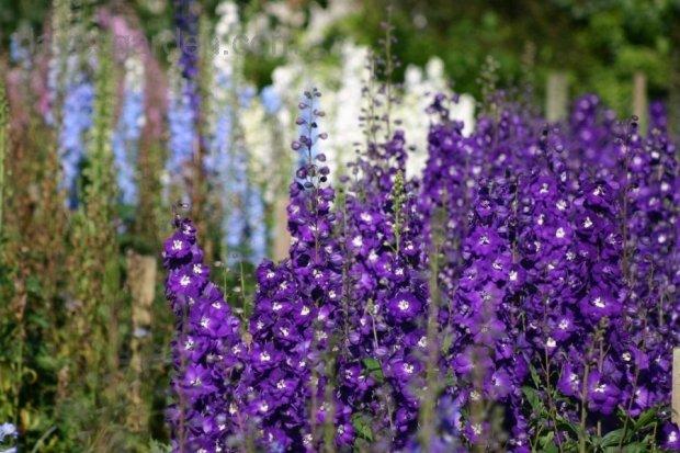 Delphinium.PurplePassion1.jpg