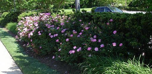 rosesinshade