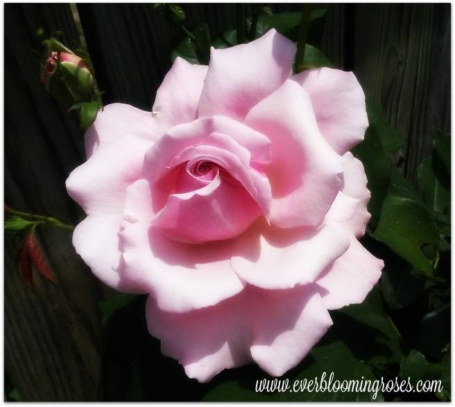 MemorialDay.bloom.framed.5.29.16.web