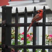 CardinalOnFence.6.7.16.web.sig