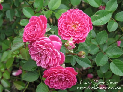 Ingrid Rose
