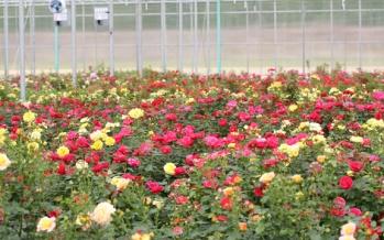 Best Rose garden lr2