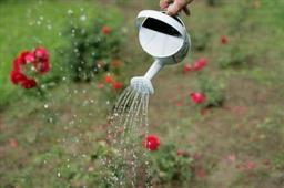 watering-roses