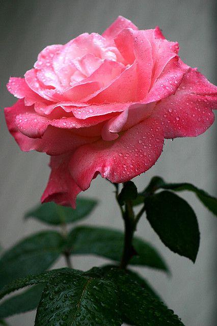 barbara bush rose